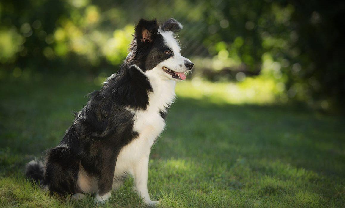 Shooting photo animal chien border collie croisée jack russel