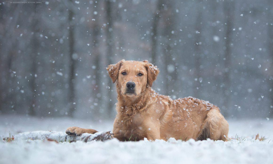 Dog Photography Gallery Award photo animalière chien golden retriever neige