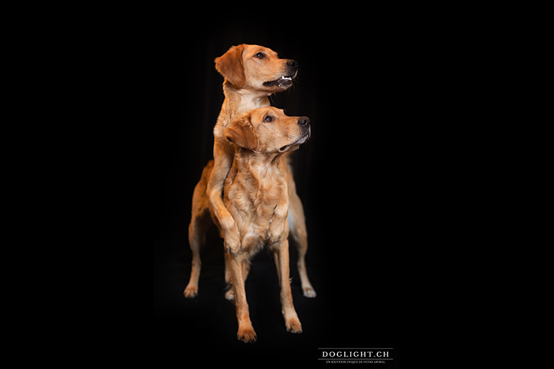 studio photo photographe animalière golden retriever