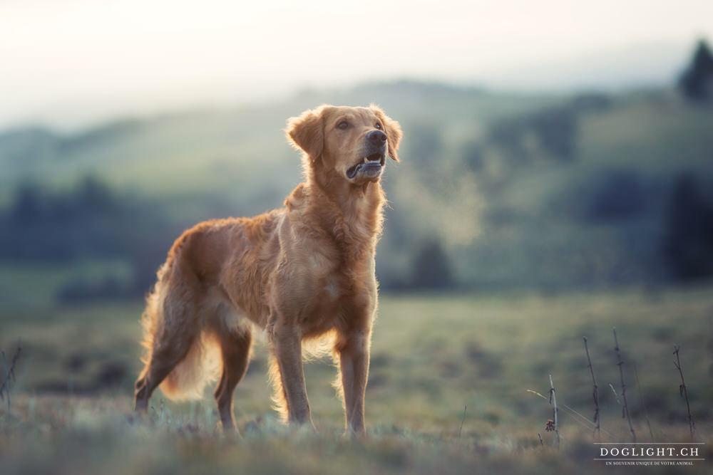 Hommage chien mon histoire Flash golden retriever