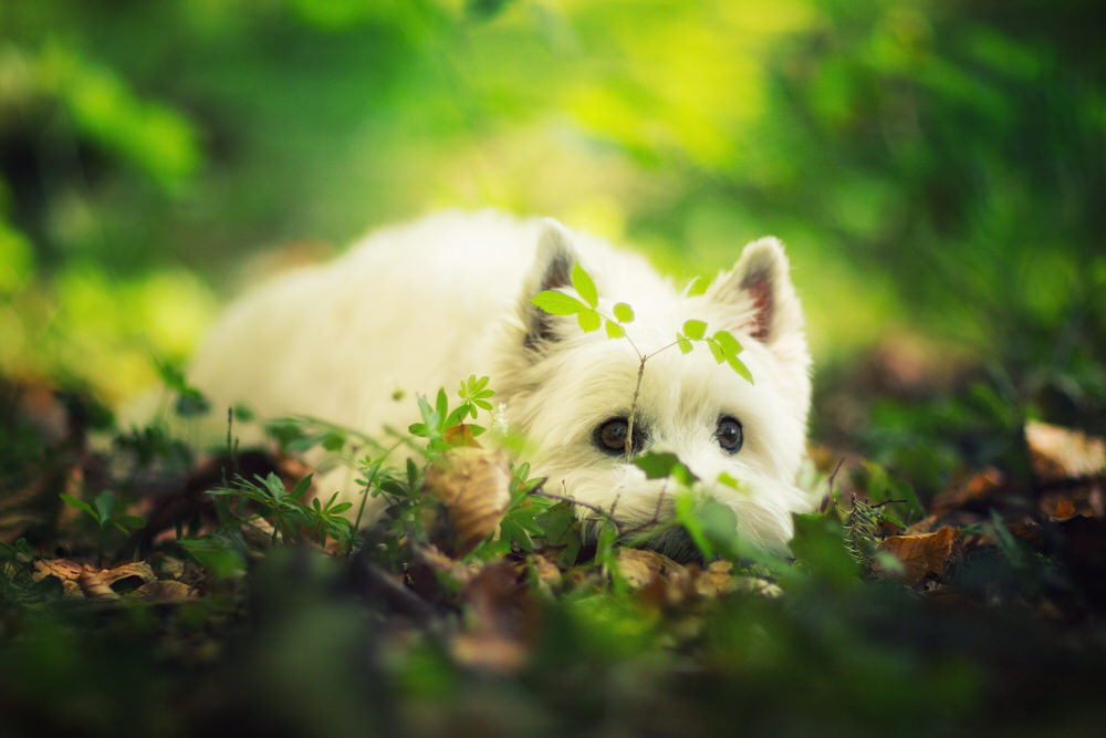 Westie séance photo en forêt photographie animalière