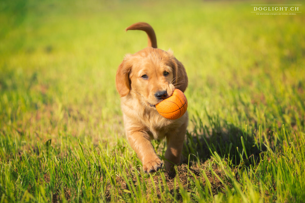 Photographe chiot qui court golden retriever