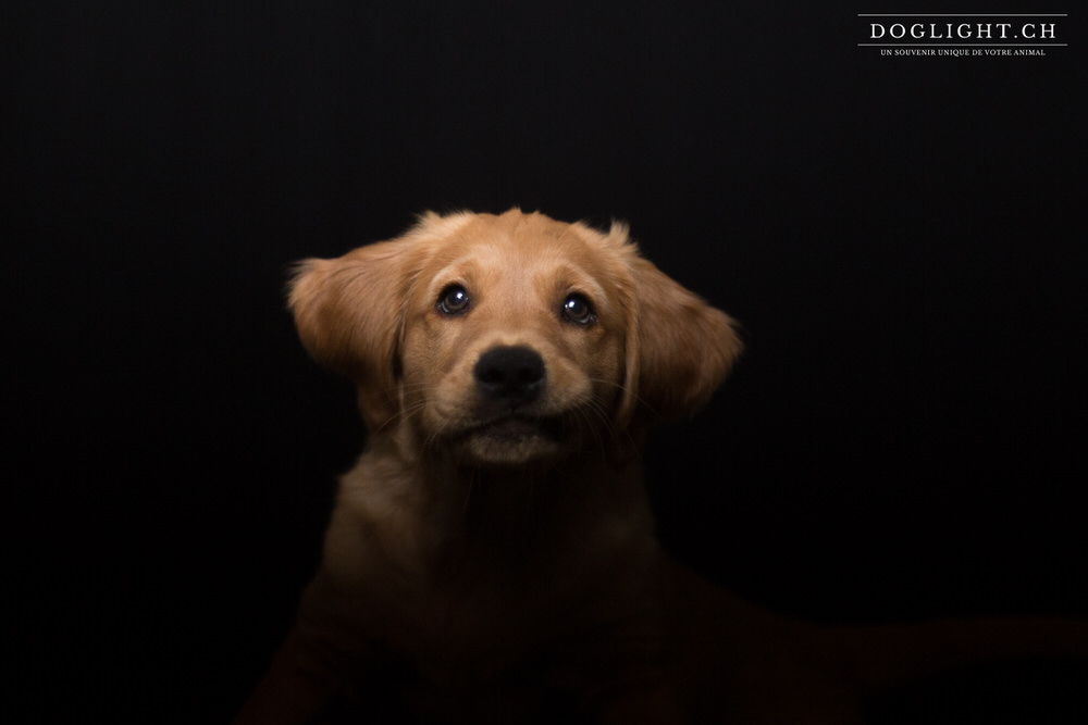 Chiot golden retriever yverdon lausanne - Photo studio