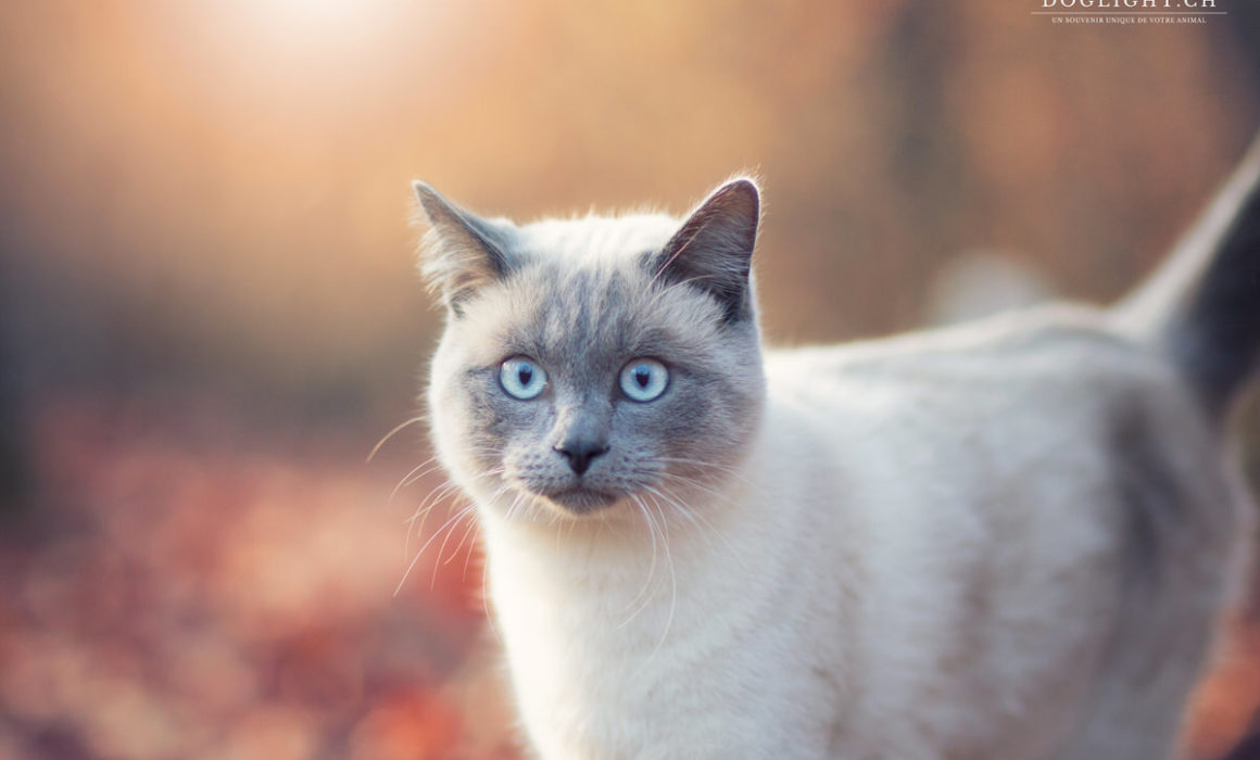 Photographe chat extérieur yeux bleus gris