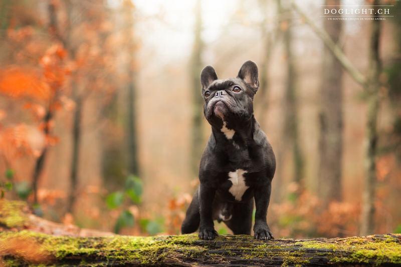 Photo bouledogue noir en hiver