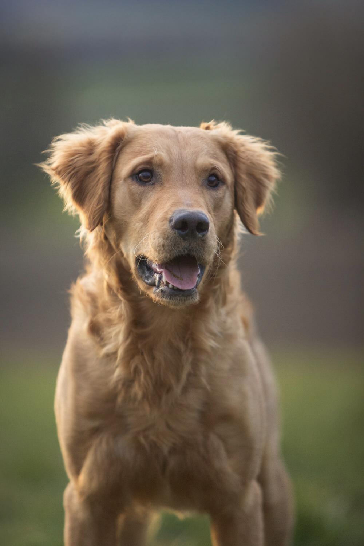 Portrait golden retriever chien en hiver