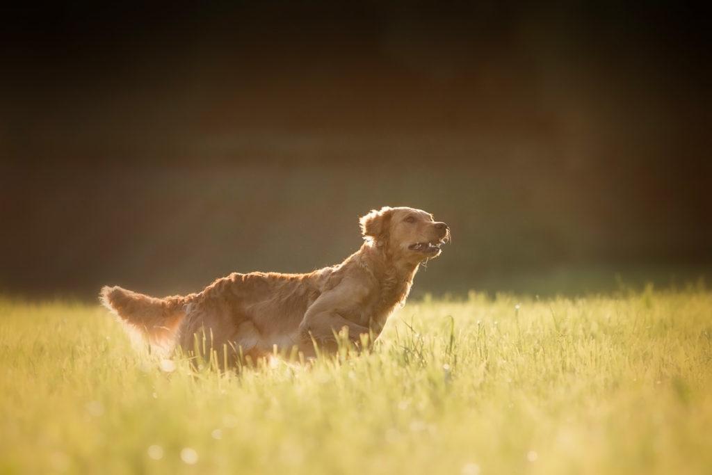 Golden retriever qui cours - Hommage