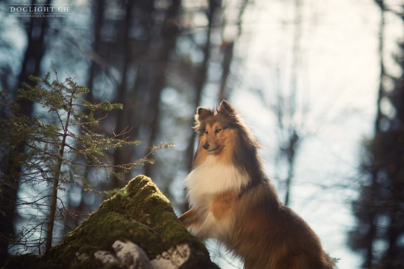 Photographe shetland hiver