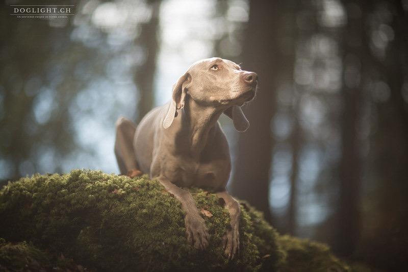 Chien braque photographe animalier hiver - Award