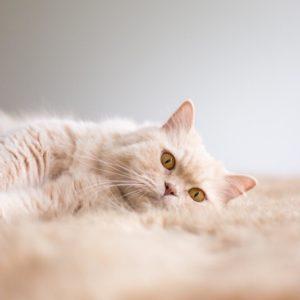 Portrait photographe chat british poil long