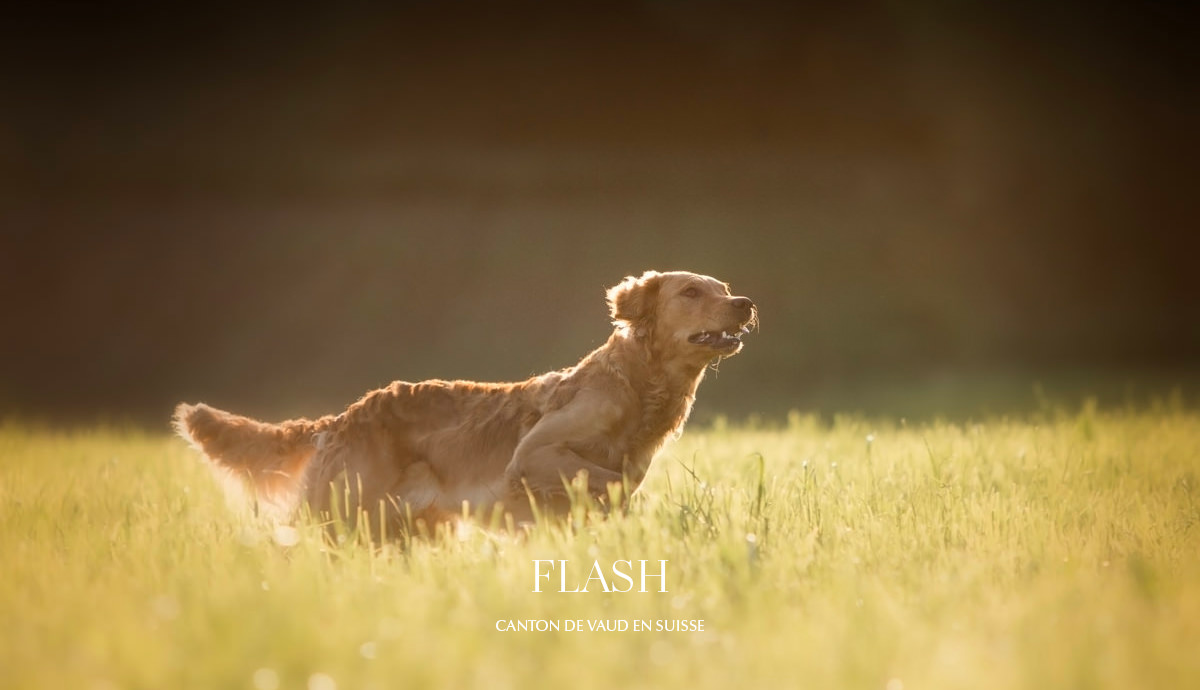 Shooting golden retriever vaud