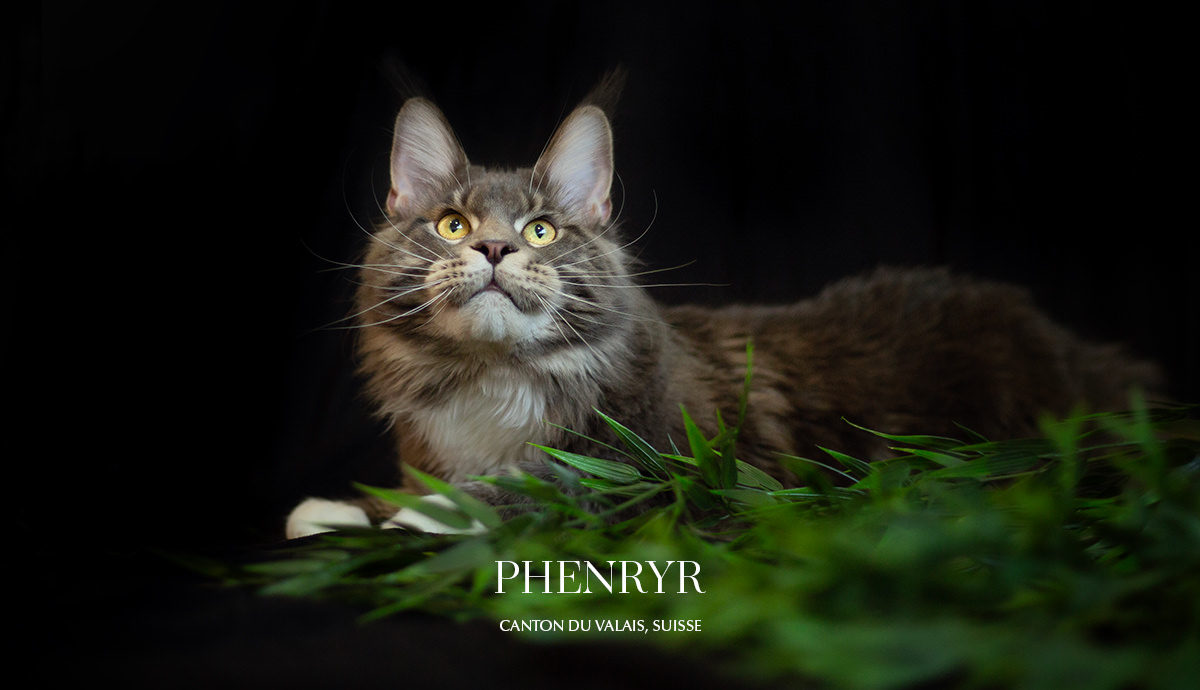 Shooting maine coon Valais
