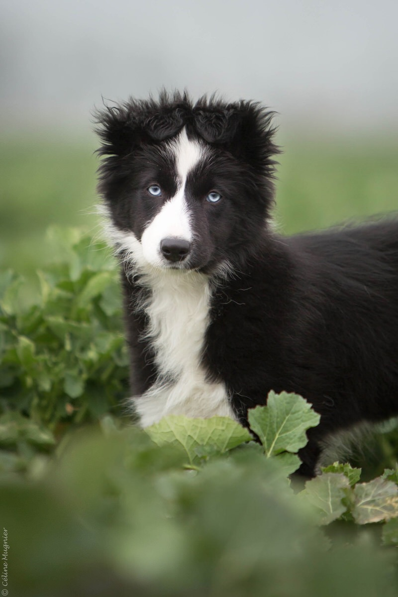 Chiot border collie noir et blanc yeux bleu